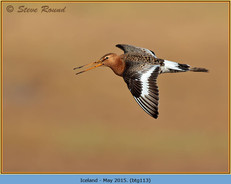 black-tailed-godwit-113.jpg