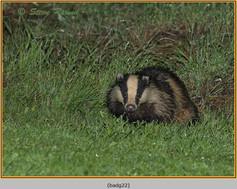badger-22.jpg