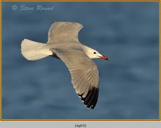 audouin's-gull-03.jpg