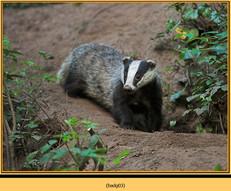badger-03.jpg
