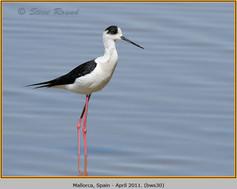 black-winged-stilt-30.jpg