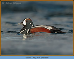 harlequin-duck-13.jpg