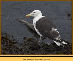 gt-b-backed-gull-16.jpg