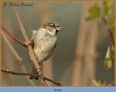 house-sparrow-46.jpg