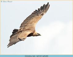 griffon-vulture-68.jpg