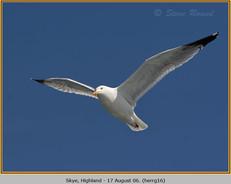 herring-gull-16.jpg