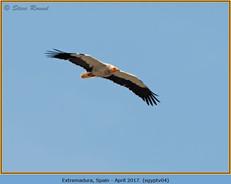 egyptian-vulture-04.jpg