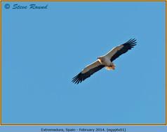 egyptian-vulture-01.jpg