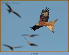 red-kite-79.jpg