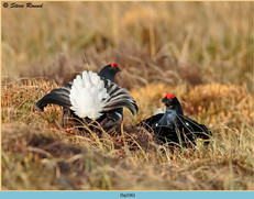 black-grouse-106.jpg