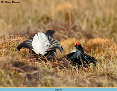 black-grouse-106.jpg