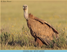 griffon-vulture-42.jpg