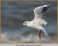 black-headed-gull-33.jpg