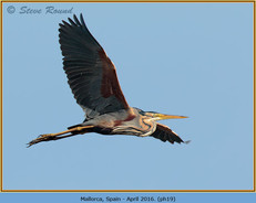 purple-heron-19.jpg