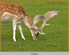 fallow-deer-06.jpg