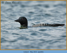 great-northern-diver-60.jpg