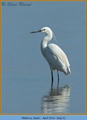 little-egret-71.jpg