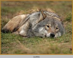 wolf-06.jpg