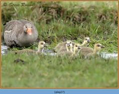 greylag-goose-27.jpg