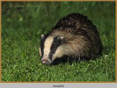 badger-08.jpg