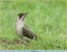 green-woodpecker-42.jpg