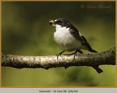 pied-flycatcher-28.jpg