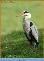 grey-heron-58.jpg