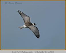 white-winged-black-tern-04.jpg