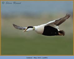 eider-duck- 89.jpg