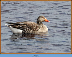 greylag-goose-24.jpg