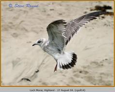 common-gull-14.jpg