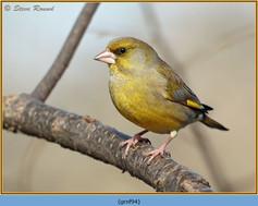 greenfinch-94.jpg
