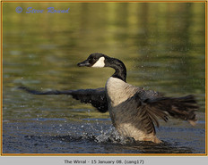 canada-goose-17.jpg