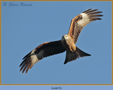red-kite-75.jpg