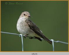 spotted-flycatcher-19.jpg