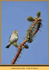 willow-warbler-11.jpg