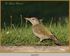 green-woodpecker-07.jpg