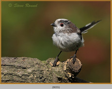 long-tailed-tit-55.jpg