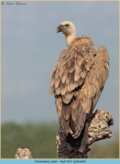 griffon-vulture-64.jpg