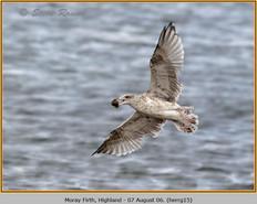 herring-gull-15.jpg