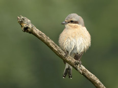 red-backed-shrike-12.jpg