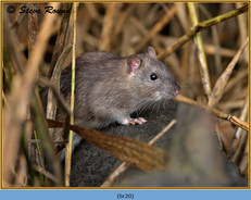 brown-rat-20.jpg