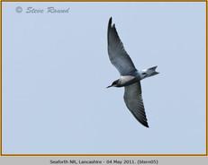 black-tern-05.jpg