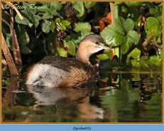 little-grebe-05.jpg