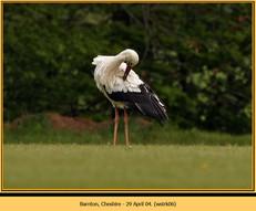 white-stork-06.jpg