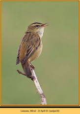 sedge-warbler-18.jpg