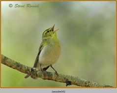 wood-warbler-50.jpg