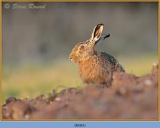 brown-hare-81.jpg
