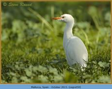cattle-egret-59.jpg