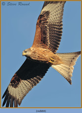 red-kite-84.jpg